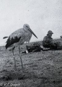 Wading bird mistakenly conscripted into Norfolk Regiment, Persian Front, Mesopotamia, 1917/18