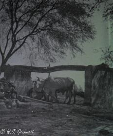 Oxen driving a water pump, Ambala, India, 1917
